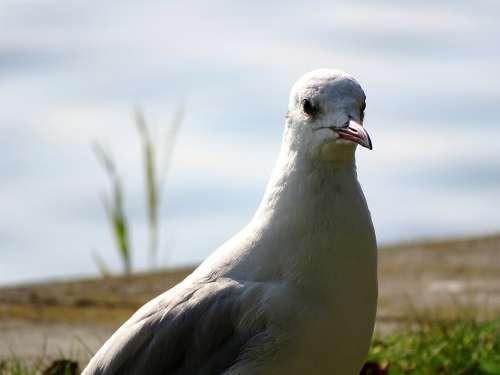 Animals Bird Seagull Water Close Up Plumage Bill