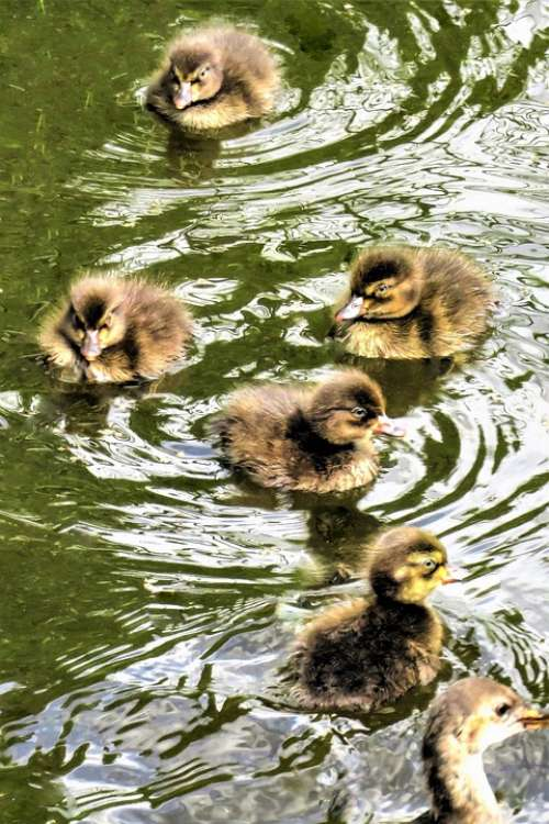 Animals Ducklings Waterfowl Diving Duck