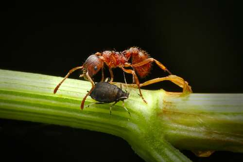 Ant Aphid Insect Macro Nature Foraging Symbiosis