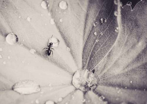 Ant Leaf Drip Insect Small Nature Monochrome