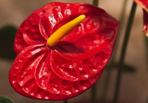 Anthurium Flower Plant Red Araceae Nature Flora