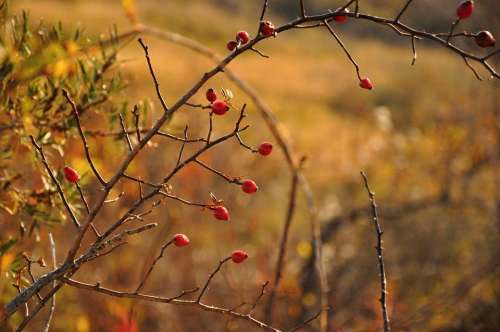 Autumn Rosehip Wild Outdoor Nature Season