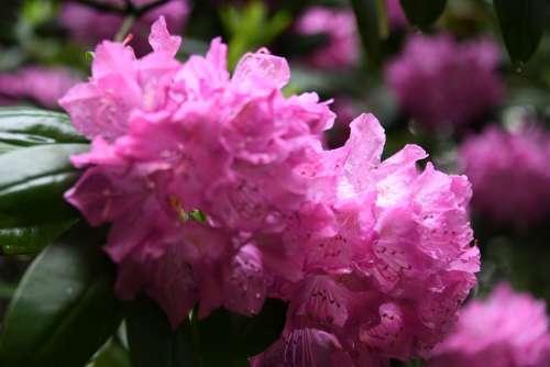 Azalea Flowers Pink Bloom Bush Plant Green