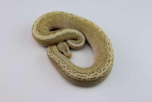 Ball Python Snake Reptile Python