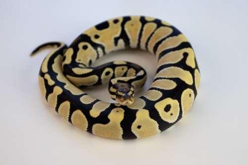 Ball Python Snake Reptile Orange Dream Desert Ghost