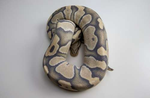 Ball Python Snake Reptile Orange Dream Desert Ghost