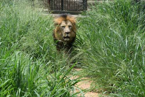 Bannerghatta Biological Park Background Lion Animal