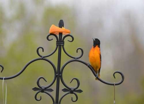 Beautiful Bird Beauty Shows Orange Slices