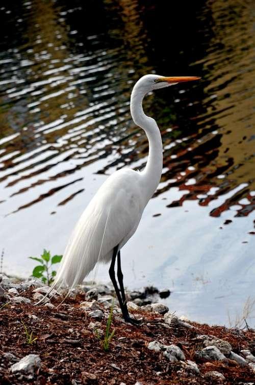 Beautiful White Bird Audubon Society