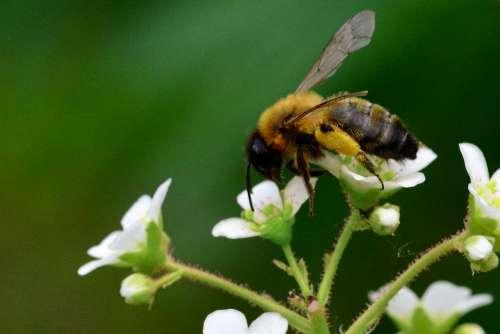 Bee Pollination Garden Flower Nature