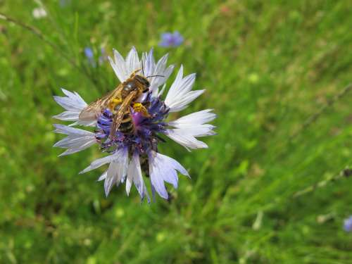 Bee Pollen Cornflower Meadow Insect