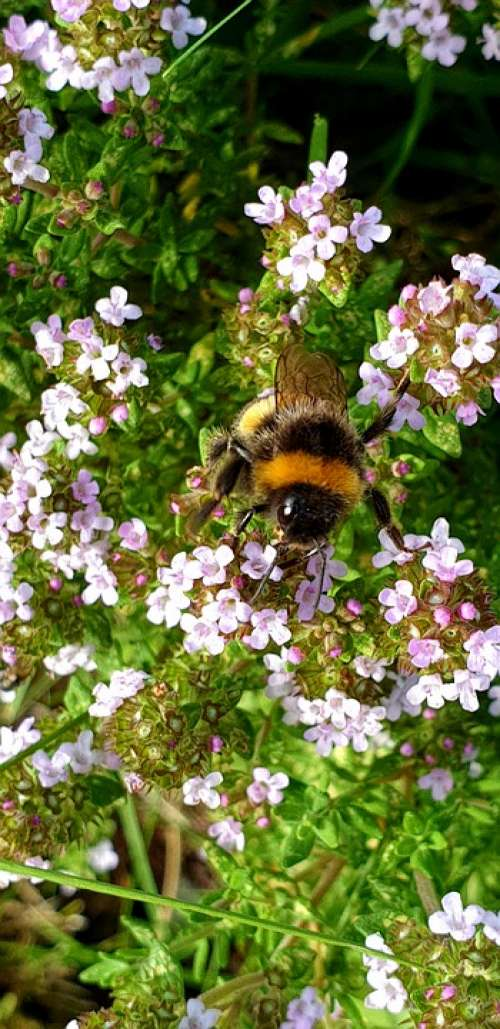 Bee Bumblebee Insect Nature Blossom Pollination