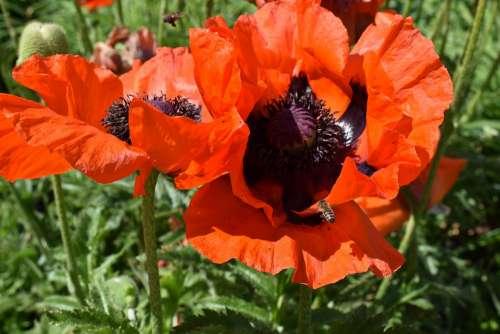 Bee Flower Insect Close Up Klatschmohn