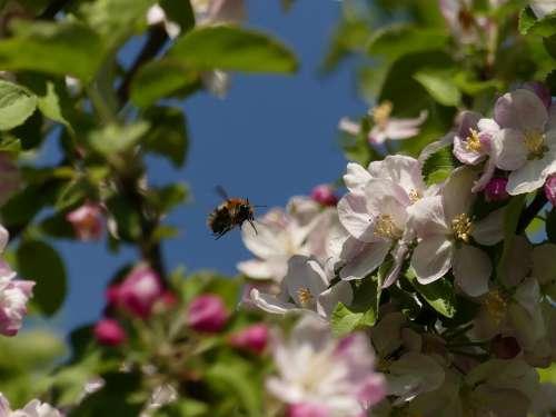 Bee Tree Spring Apple Blossom Wild Bee Flowers
