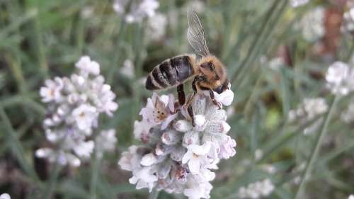 Bee Honey Bee Lavender Biodiversity Insect Blossom