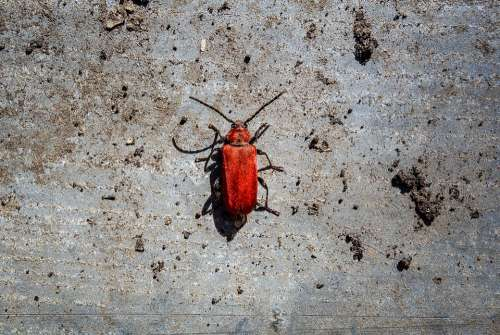 Beetle Red Beetle Close Up Patch Macro Crawl Red