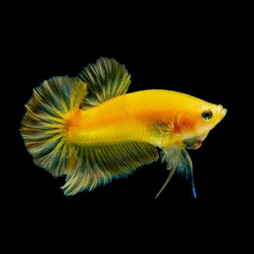 Betta Fish Yellow Water Aquarium Nature Animal