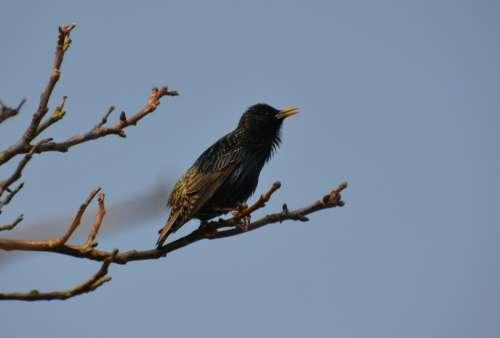 Bird Star Nature Occurs Songbird Sitting Spring