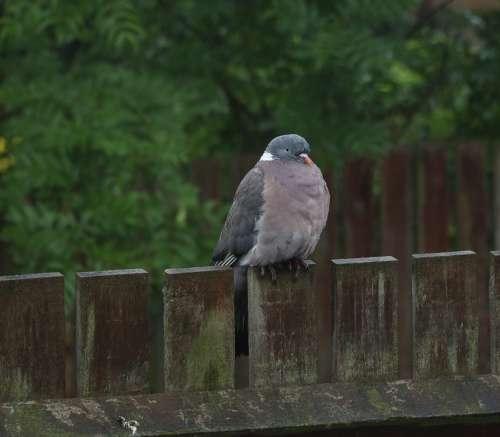 Bird Pigeon Feather Nature Small Plumage Wildlife