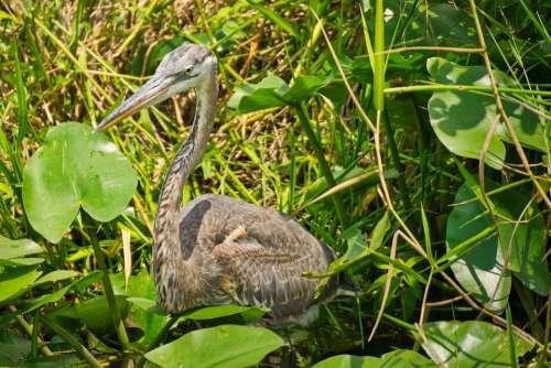 Bird Ardea Everglades Animal World Animal Nature