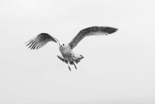Bird Gull Young Animal Nature Flight Wings