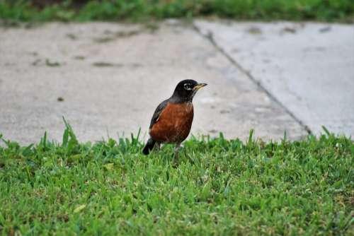 Bird Sidewalk Grass Robin City Urban Feather