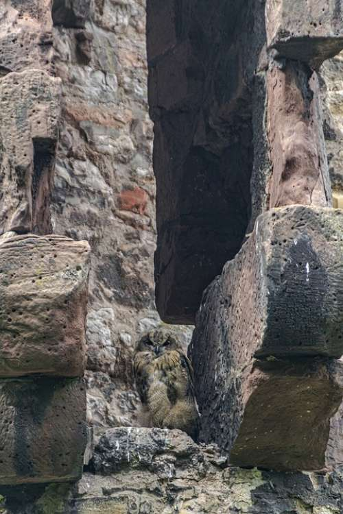 Birds Owls Bird Of Prey Raptor Nature Animal World