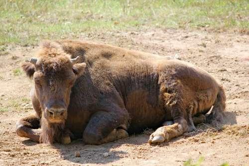 Bison The European Tur Animal Mammal Artiodactyl