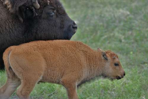 Bison Buffalo Young Bison Family Mothering