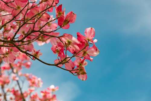 Blossom Pink Garden Nature Vegetable Tree Petals