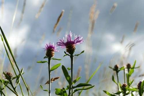 Bluets Composites Wild Plant Blossom Bloom