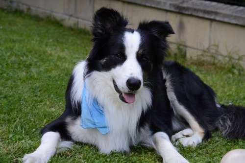 Border Collie Dog Border Pets
