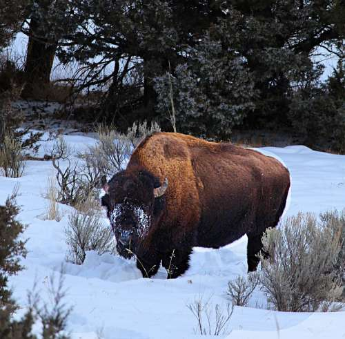 Buffalo Winter Snow-Face Wyoming Wild
