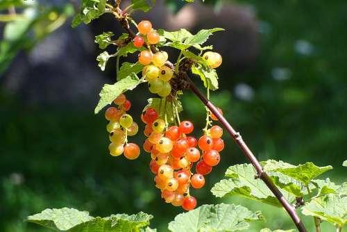 Bush Currant Red Fruit Immature Garden Nature