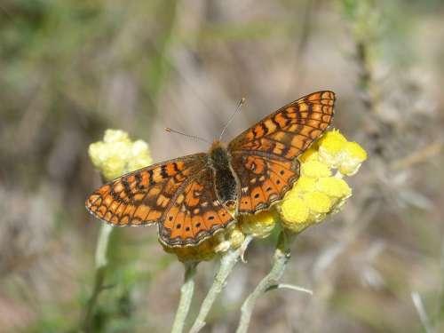 Butterfly Flower Libar Marsh Fritillary