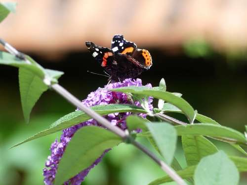 Butterfly Lilac Insect Nature Close Up Animal