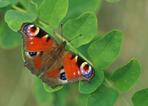 Butterfly Wing Nature Colorful Insect Peacock