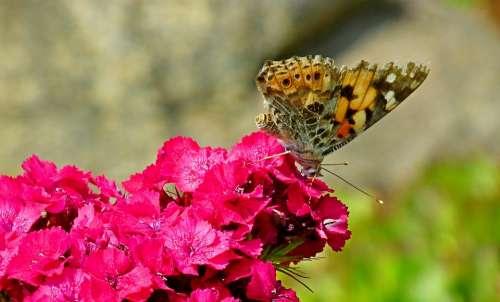 Butterfly Insect Flowers Gożdzik Stone Nature