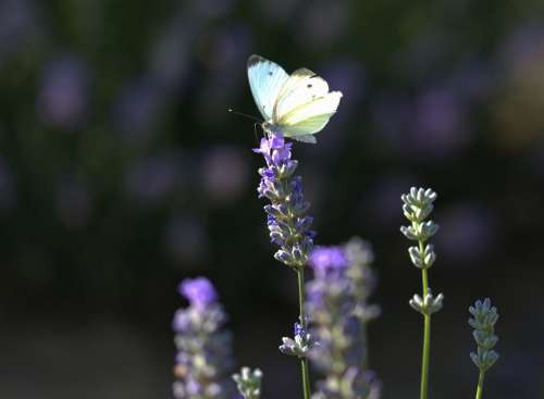Butterfly Lavender Wings Insect Supplies Flower
