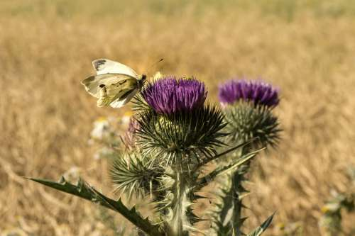 Butterfly Thistle Field Insect Flower Summer Wing