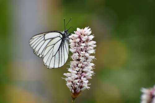 Butterfly White Cabbage Butterfly Flower Nectar
