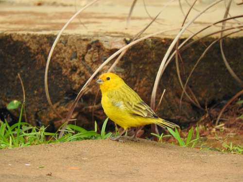 Canary Yellow Bird Birdie Nature Animals Brazil