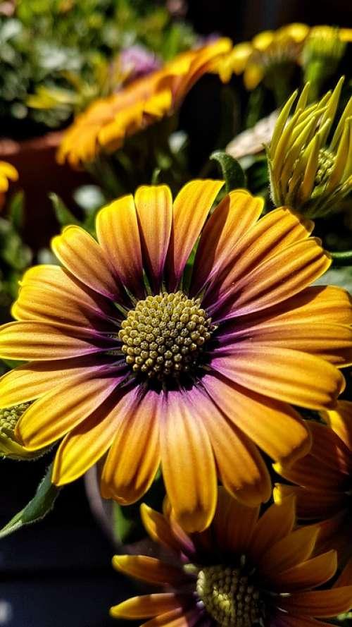 Cape Basket Osteospermum Flower Blossom Bloom