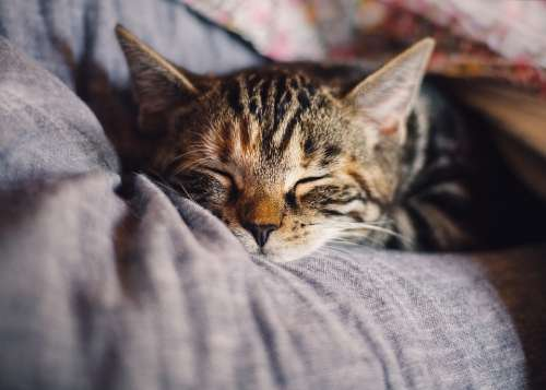 Cat Domestic Cat Sleep Pet Animal Rest Relaxation