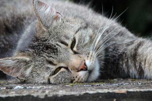 Cat Grey Tiger Pet Chill Out Stress-Free Tired