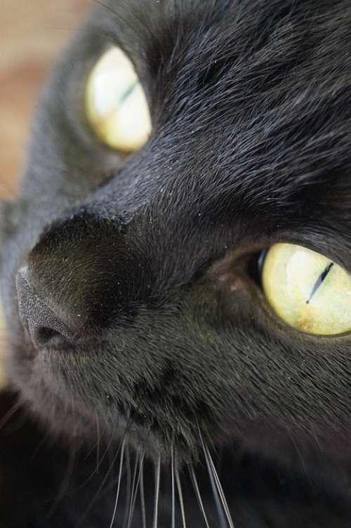 Cat Black Eyes Portrait Animal