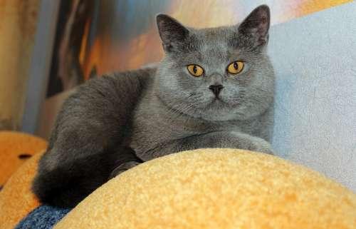 Cat Sofa Animal Scottish Straight Rest Relax