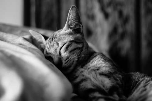 Cat Sleep Pet Animal Cute Sleeping Sweet Lazy