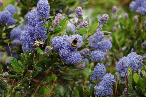 Céanothe Bourdon Flower Blue Purple Insect Browser