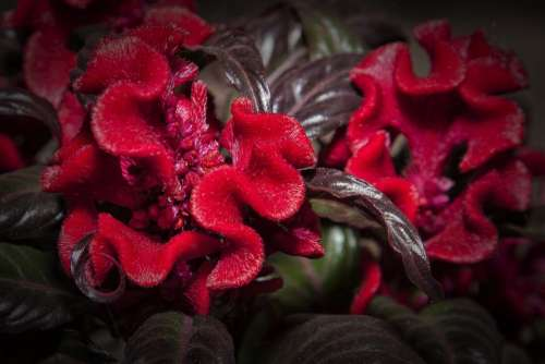 Celosia Red Flower Blossom Bloom Nature Plant